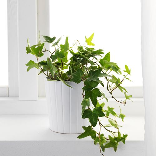 HEDERA HELIX,potted plant
