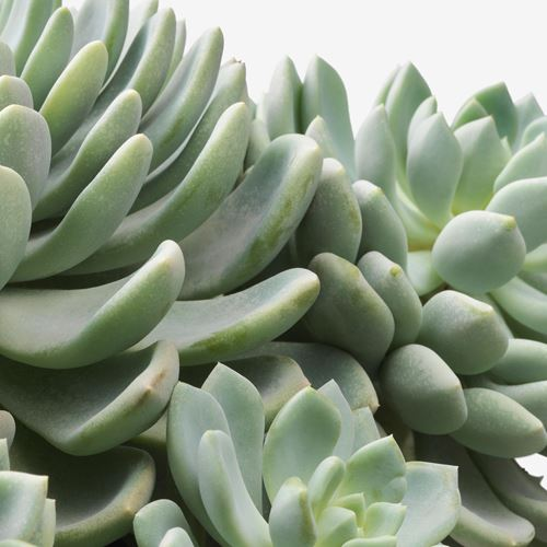 SUCCULENT,potted plant